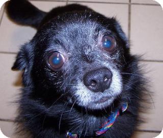 Chihuahua Mix Dog for adoption in Jackson, Michigan - Yogi