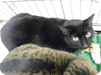 Bombay Cat for adoption in Alden, Iowa - Mini