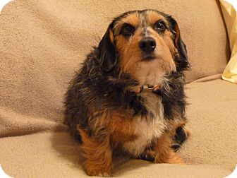 Dachshund Dog for adoption in Greenville, South Carolina - Lizzi