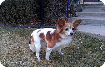 Papillon Dog for adoption in Morrison, Colorado - Cricket