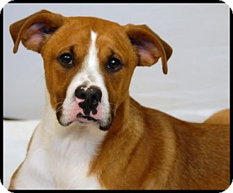 Boxer Mix Dog for adoption in Newland, North Carolina - Bowie