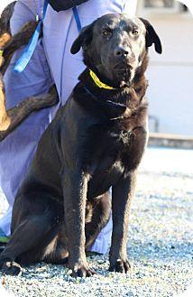 Labrador Retriever Mix Dog for adoption in Alpharetta, Georgia - Tippy