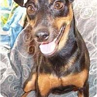Adopt A Pet :: Cocoa Puff - Phoenix, AZ