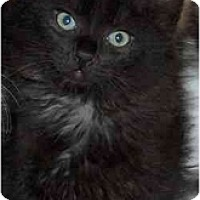 Adopt A Pet :: Coalette - Davis, CA