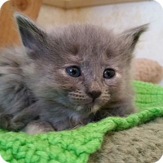 Domestic Shorthair Kitten for adoption in Mountain Center, California - Aloha