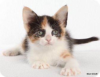 Domestic Shorthair Kitten for adoption in Las Vegas, Nevada - Harli