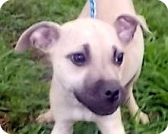 Mountain Cur/Labrador Retriever Mix Puppy for adoption in Allentown, New Jersey - Bertha