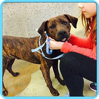 Labrador Retriever/Boxer Mix Puppy for adoption in Eden Prairie, Minnesota - BARRY WHITE