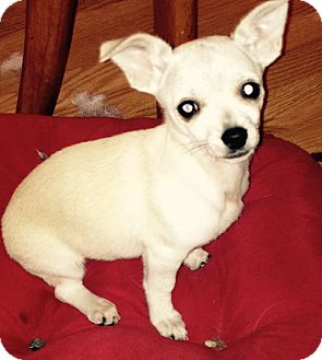 Chihuahua/Terrier (Unknown Type, Small) Mix Puppy for adoption in Covington, Washington - Scarlett