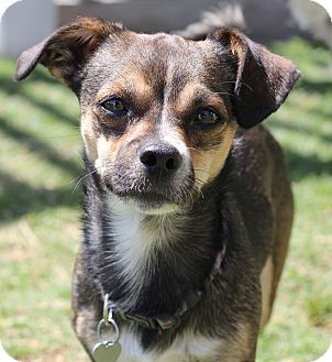 Beagle/Chihuahua Mix Dog for adoption in San Pedro, California - Wiley