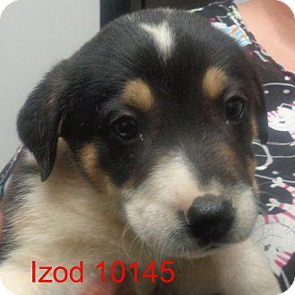 Australian Cattle Dog Mix Puppy for adoption in Manassas, Virginia - Izod