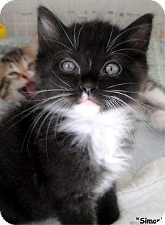 Domestic Mediumhair Kitten for adoption in Key Largo, Florida - Simon