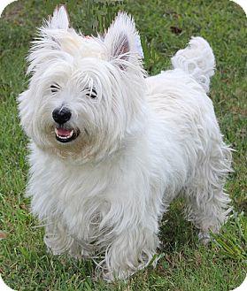 Westie, West Highland White Terrier Dog for adoption in Concord, North Carolina - Mutt-Mutt