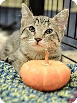 Domestic Shorthair Kitten for adoption in Gainesville, Florida - Pecan