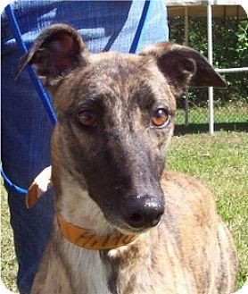 Greyhound Dog for adoption in Randleman, North Carolina - Hilla