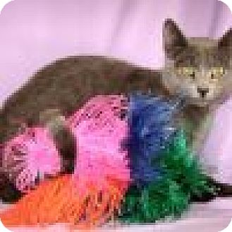 Domestic Shorthair Cat for adoption in Powell, Ohio - Rembrandt