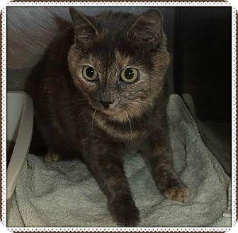 Domestic Shorthair Cat for adoption in Marietta, Georgia - MAGGIE (R)