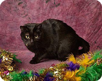 Bombay Cat for adoption in Harrisonburg, Virginia - Coalie