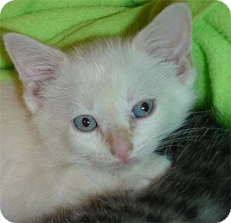 Domestic Shorthair Kitten for adoption in Garland, Texas - Harley