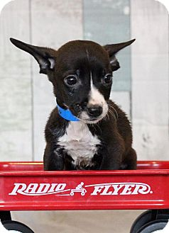 Terrier (Unknown Type, Small) Mix Puppy for adoption in Waldorf, Maryland - Paco