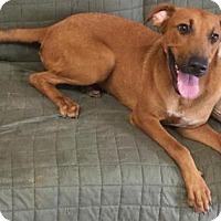 Redbone Coonhound Mix Dog for adoption in Livingston, Texas - Miranda