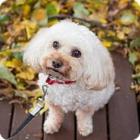 Adopt A Pet :: Toby - Rigaud, QC