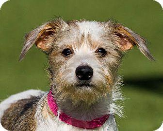 Terrier (Unknown Type, Medium) Mix Puppy for adoption in Dallas, Texas - Beth