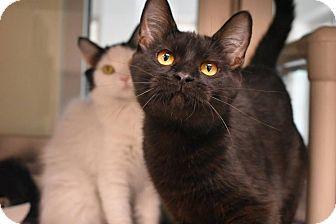 Domestic Shorthair Kitten for adoption in Prince George, Virginia - Virgo