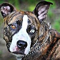 American Pit Bull Terrier Dog for adoption in Fredericksburg, Virginia - Carmella- Courtesy Listing