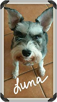 Schnauzer (Miniature) Dog for adoption in Palm Bay, Florida - Luna