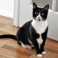 Domestic Shorthair Cat for adoption in Brooklyn, New York - Margo: Magnificent Kitty Seeking Forever Family