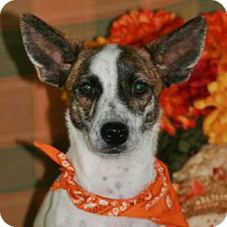 Jack Russell Terrier/Corgi Mix Puppy for adoption in Santa Fe, Texas - Topaz/with video