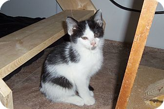 Domestic Shorthair Kitten for adoption in Medford, Wisconsin - LARA