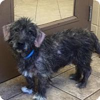 Adopt A Pet :: Donald 7157 - Joplin, MO