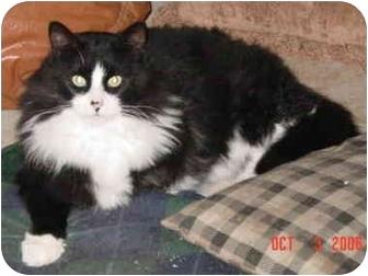 Domestic Longhair Cat for adoption in Columbus, Nebraska - Romeo