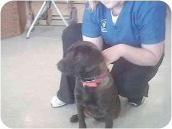 Labrador Retriever Mix Puppy for adoption in Higginsville, Missouri - Sassy