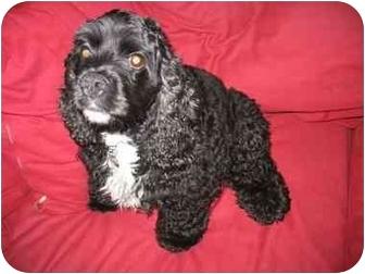 Cocker Spaniel Dog for adoption in Sheboygan, Wisconsin - Jackson