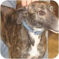 Greyhound Dog for adoption in Gerrardstown, West Virginia - Jill