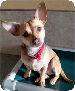 Chihuahua Mix Dog for adoption in Los Angeles, California - Olivia *VIDEO*