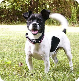 Boston Terrier/Chihuahua Mix Dog for adoption in Mocksville, North Carolina - Ping