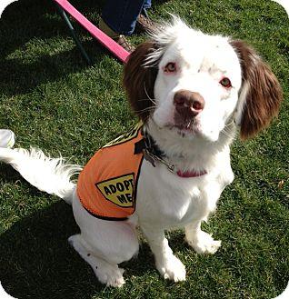 Spaniel (Unknown Type)/Clumber Spaniel Mix Dog for adoption in Phoenix, Arizona - Dottie