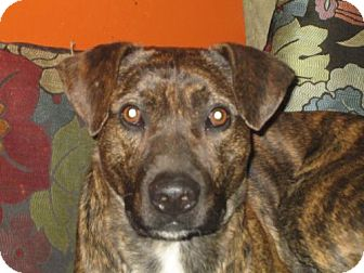 Mountain Cur Dog for adoption in Hilham, Tennessee - Tic
