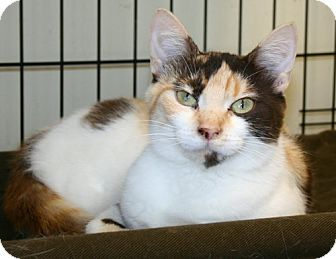 Domestic Shorthair Cat for adoption in Washington, D.C. - Patches