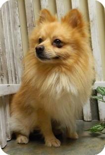 Pomeranian Mix Dog for adoption in Columbus, Nebraska - Dixon