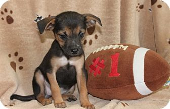 Chihuahua Mix Puppy for adoption in Salem, New Hampshire - Patriots