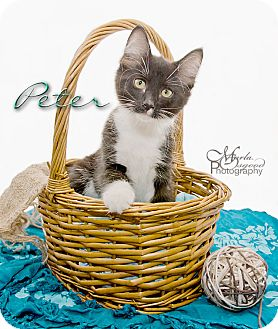 Domestic Longhair Kitten for adoption in Rancho Cucamonga, California - Peter-RC Pet Smart
