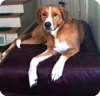 Collie/Labrador Retriever Mix Dog for adoption in Kalamazoo, Michigan - Miller