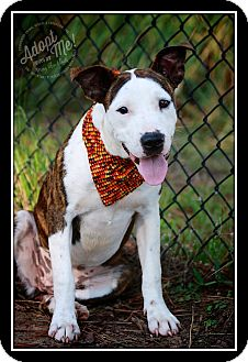 American Bulldog/Terrier (Unknown Type, Medium) Mix Puppy for adoption in Albany, New York - Amelia