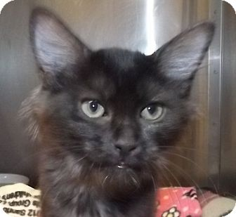 Domestic Longhair Kitten for adoption in Grants Pass, Oregon - Frances