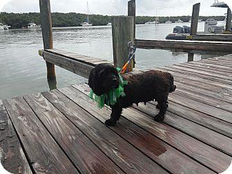 Cocker Spaniel/Havanese Mix Dog for adoption in Homestead, Florida - Sofie